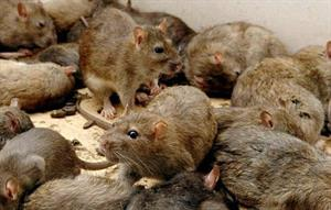 RATS! The tenants let them in, claims landlord in court case......